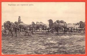 Верблюды для перевозки рыбы